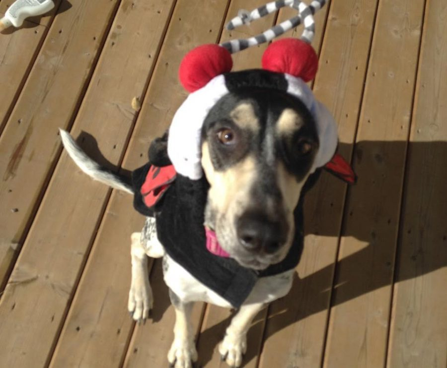 A picture of Tony Lepperts newest dog, Susan in a ladybug costume. Photo taken by Tony Leppert.