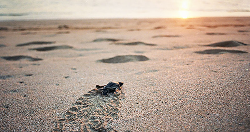 A Leatherback sea turtle hatchling travels across the sand at Playa Grande, Costa Rica in 2003. Spanish students will be visiting a similar sea turtle nesting site when they travel to Costa Rica in the summer of 2018. Photo used with permission of Tribune News Service.