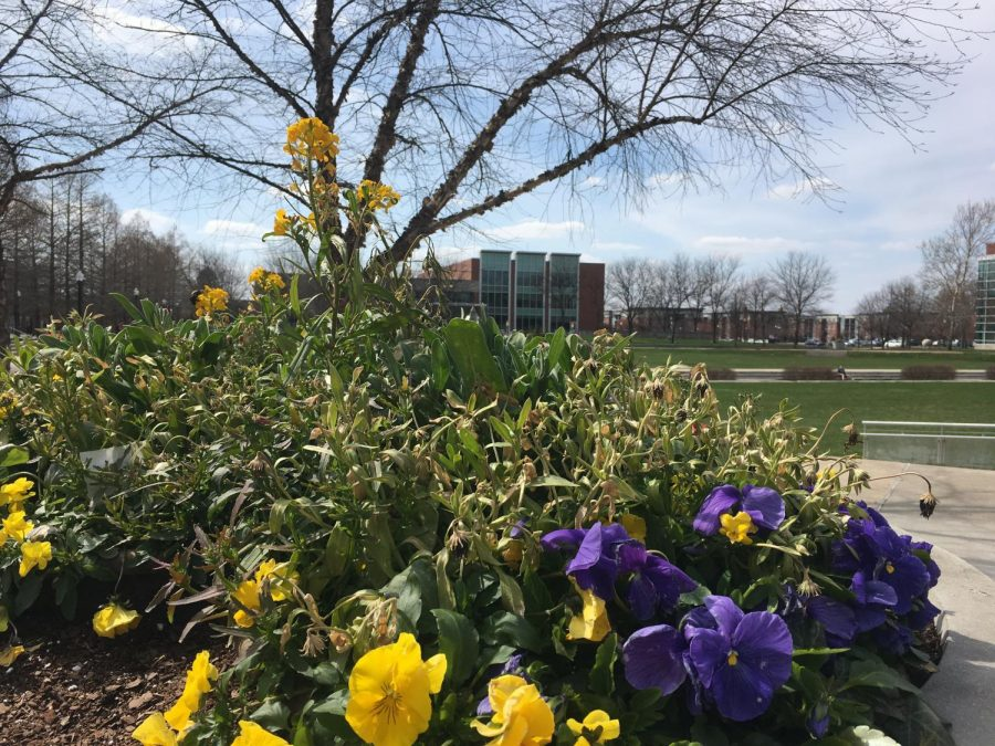 Yellow and purple pansies bloom in the gardens of University of Indianapolis on Apr. 6.