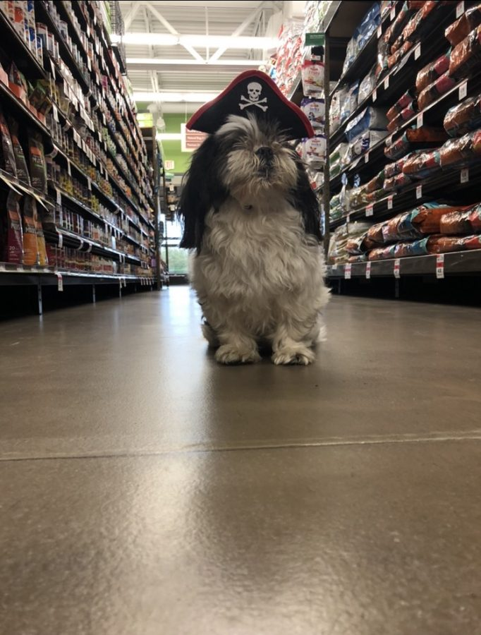 Small dog dressed up as a pirate searches the shelves for treasure.