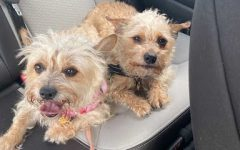 Senior Sean Paree-Huff's dogs Chai (left) and Latte (right) keep each other company on a car ride. Chai and Latte are rescue dogs that have been part of the Paree-Huff family for most of their lives.