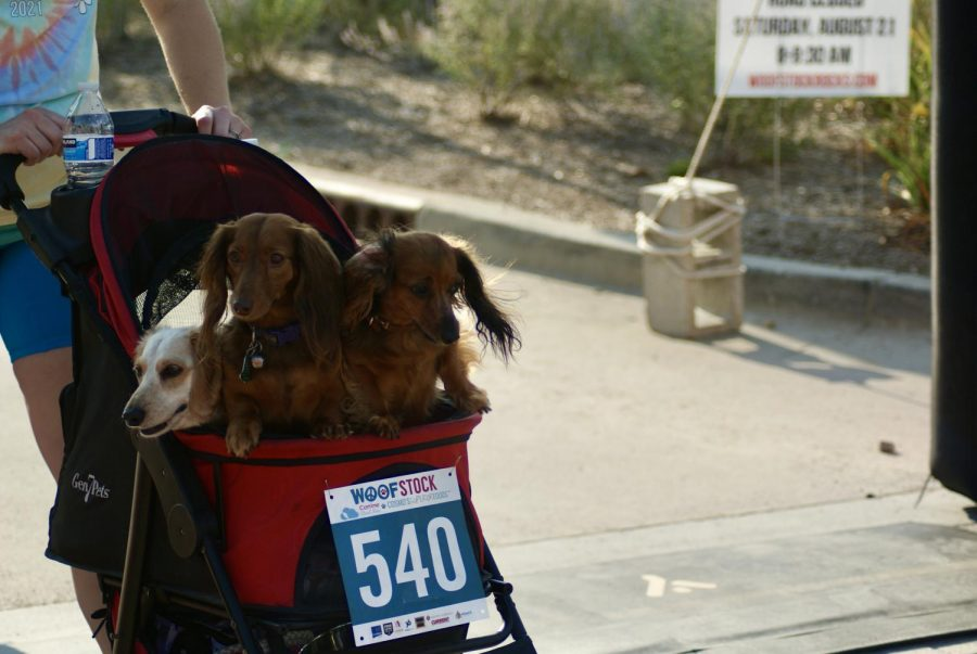 After an hour and 16 minutes, a stroller full of dachshunds crosses over the finish line on Aug. 21. The group was accompanied by a second stroller of dachshunds that were not far behind and finished soon after.